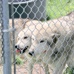 Ginny and Dakota, two wolves who found their new sanctum at the Yellowstone Wildlife Sanctuary in November of 2019, trot along the side of their newly expanded inhabitance of 24,000 square feet to greet caretakers on June 2, 2020.