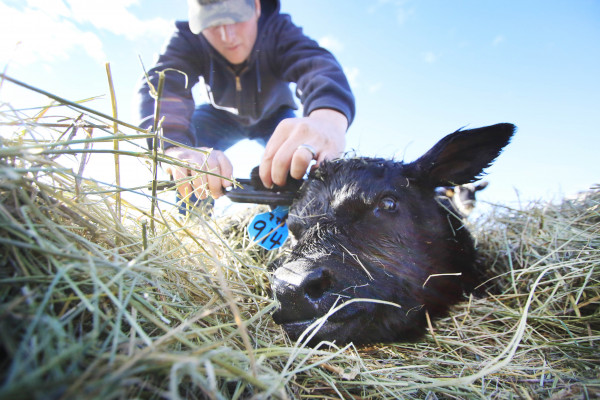 Yellowstone Newspapers photo by Hunter D'Antuono.  Rancher Stuart Dunkel, of Wilsall, tags a newborn calf nestled in the hay on Feb. 20.