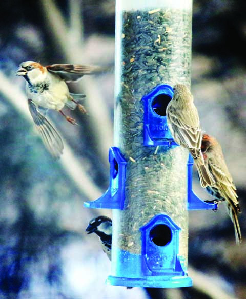 House Sparrow Yellowstone Newspapers photos by Hunter D'Antuono