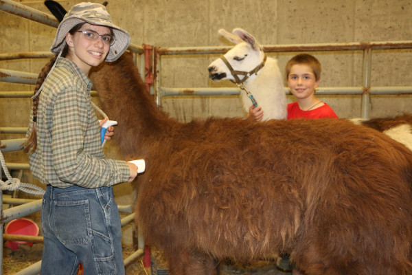 Mary and Jacob Baeten work on grooming their llamas.