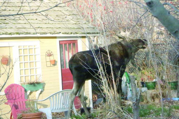 Moose is surprise visitor. Outlook photo by David Keyes. This moose spent last week meandering through the parts of Laurel. This photo was taken in Dr. VanNice's backyard during a morning last week. Dr. VanNice said his visitor stayed in the backyard all morning and was later seen near the Catholic Church. Law enforcement kept an eye out for the moose and warned people to steer clear of the unpredictable animal. Just as fast as it appeared, the moose disappeared.