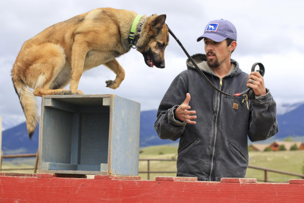 Yellowstone Newspapers photos by Hunter D'Antuono. Svalinn protection dog trainer Josh Morris leads Jamaica over a box on an obstacle course last month.