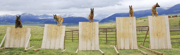 Five of Svalinn's dogs perch themselves on narrow walls as part of a training demonstration last month.