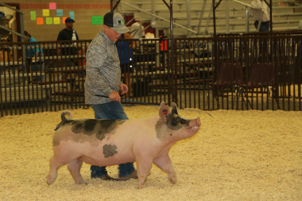 Outlook photos by Kathleen Gilluly. Walker Anttila of Joliet practices in the ring with his prancing pig. Both the pig and his boy appeared to enjoy the year's biggest agricultural event for area youth.