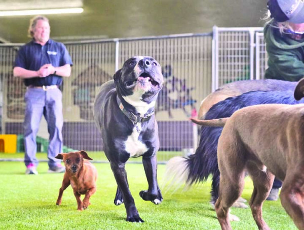 AnimaLodge Pet Resort General Manager Russ Woerner watches a pair of happy pups explore the new facility last week. The full service boarding and Doggie Day Camp business recently expanded their operations to include an indoor play area and live webcams.