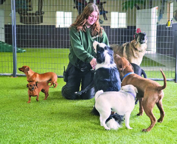 """AnimaLodge Pet Technican Madi Achten gives some loves to """"Theodore"""" during the controlled chaos that is the Doggie Day Camp while """"Hank"""" and """"Cora"""" wait their turn. The Pet Resort recently opened a climate–controlled indoor day care facility and added four live webcams so owners can watch their pets play throughout the day. Outlook photos by Chris McConnell"""