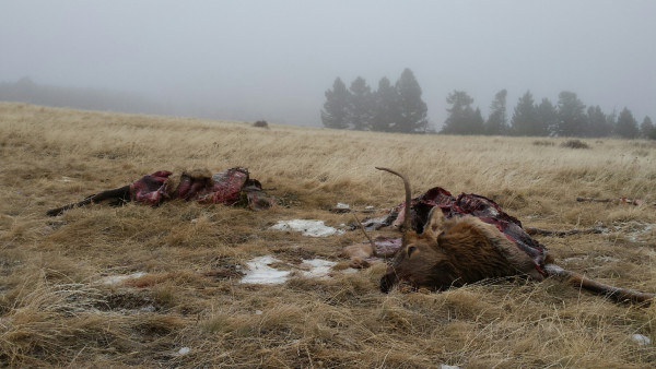 Montana Fish, Wildlife and Parks game wardens are looking for information about two spike elk that were killed recently south of Big Timber and illegally left to waste. An adjacent landowner found the two dead elk Sunday, Oct. 29, on U.S. Forest Service land near Green Mountain, between the East Fork and main stem of the Boulder River. FWP game warden Derek Fagone said it appears the animals were shot and killed late Friday evening or early Saturday. The perpetrator removed a small amount of meat and teeth