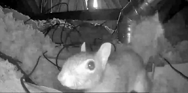 Karl the squirrel checks out the surveillance camera during one of his nightly romps in the attic. Photos courtesy Bryan McConnell