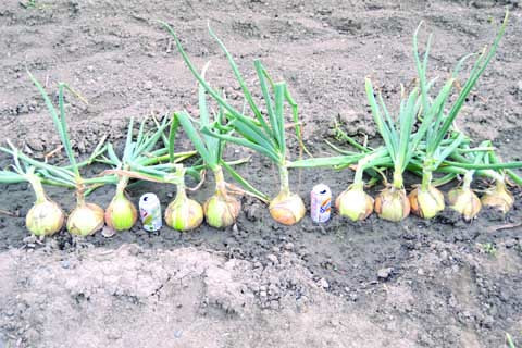 In this photo by the author, harvested onions are sitting in the garden next to soda cans to show their comparative size.