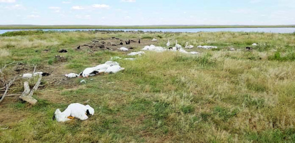 A Hailstorm at the Big Lake Wildlife Management Area west of Molt killed and maimed more than 11,000 waterfowl and wetland birds.