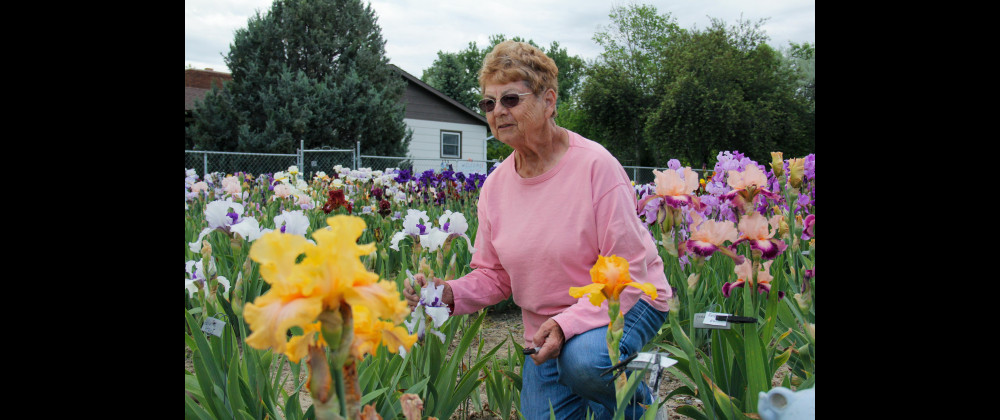 Outlook photo by Chris McConnell                        Muriel Zahm of Muriel's Iris Garden in Laurel tending some of her flowers on Tuesday afternoon. Zahm has been growing Irises for 50 years and her garden on 1525 E. Maryland Lane currently has over 1,000 varieties. The flower's name comes from the Greek word for rainbow and is also the name of the Greek goddess of the rainbow: Iris.